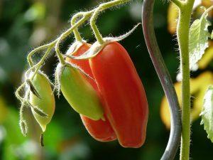 tomato_bush_tomato_vegetables